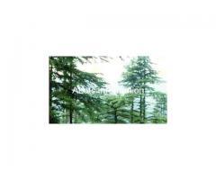Pure Cedar Wood Oil